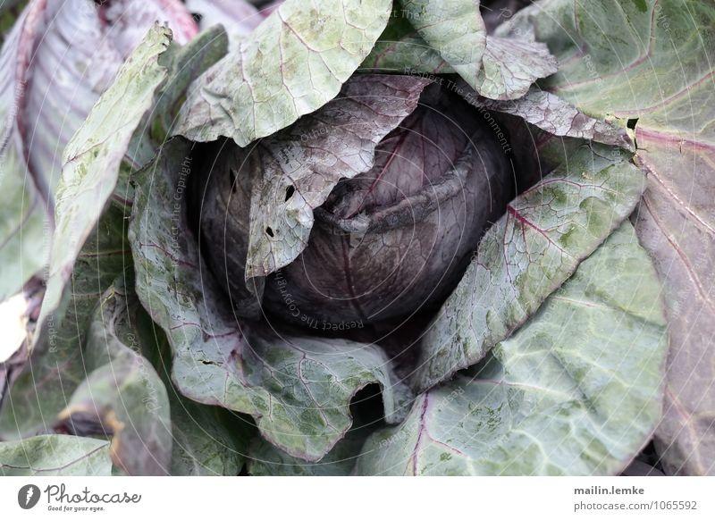 Kohl 1 Pflanze grün Blatt Gesundheit frisch violett Grünpflanze Nutzpflanze Kohl