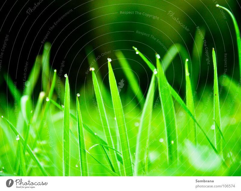 Teardrops Natur grün Wiese Gras Frühling leuchten Wassertropfen Ecke Spitze Halm Tau Kitzel