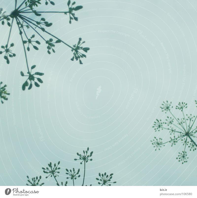 BLÜTENSTERNCKEN grau türkis weiß hell-blau azurblau Blüte Nebel Herbst Winter Zeit himmelblau Baum Konjunktur zart Blühend Am Rand Bilderrahmen umrandet Kranz