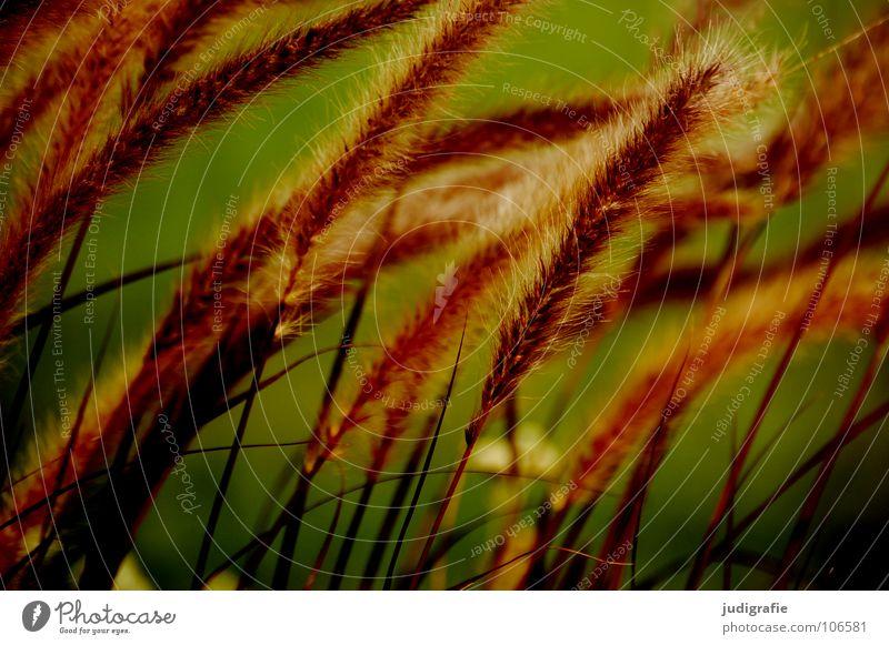Gras grün gelb rot Stengel Halm Ähren glänzend schön weich Rauschen Wiese zart beweglich sensibel federartig Pflanze Farbe Pollen rispe rispen flimmer Weide