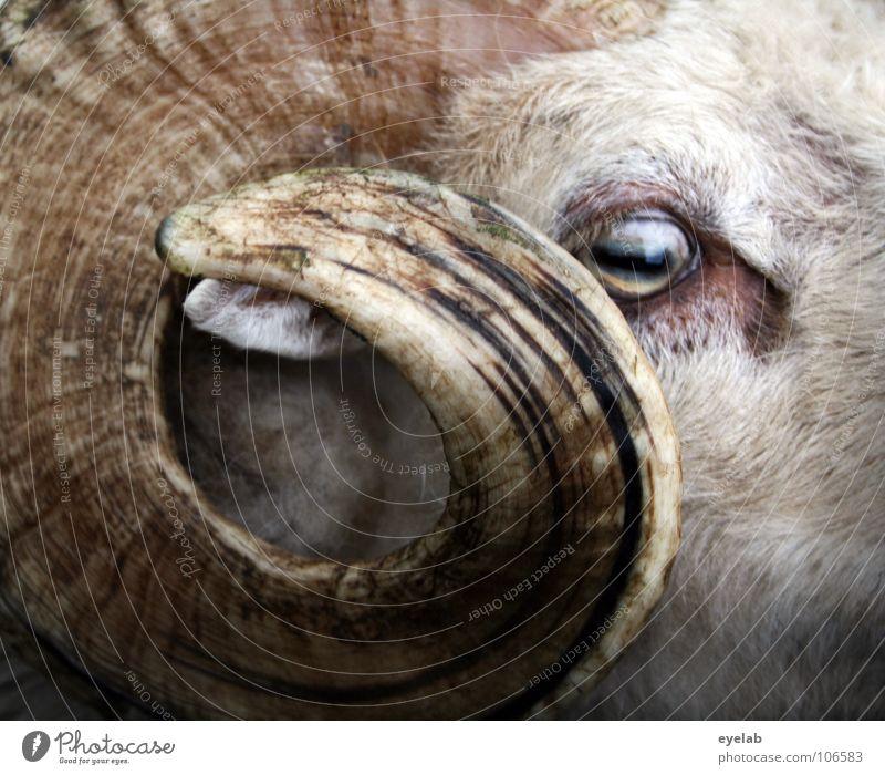 Den Bock fett... weiß Auge Tier gefährlich nah authentisch bedrohlich beobachten Fell tierisch Schaf Säugetier Horn Waffe Wolle Defensive