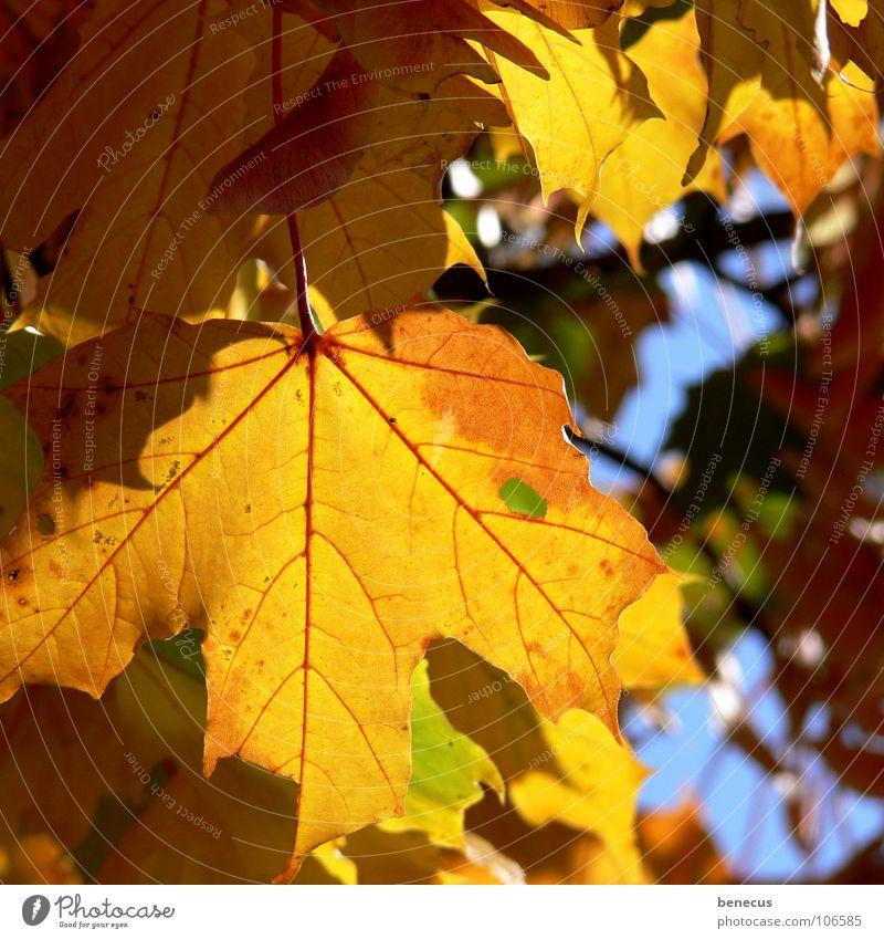 Herbststimmung blau alt Baum Sommer Blatt gelb Leben hell Beleuchtung Stimmung orange Vergänglichkeit fallen Zweig Herbstlaub