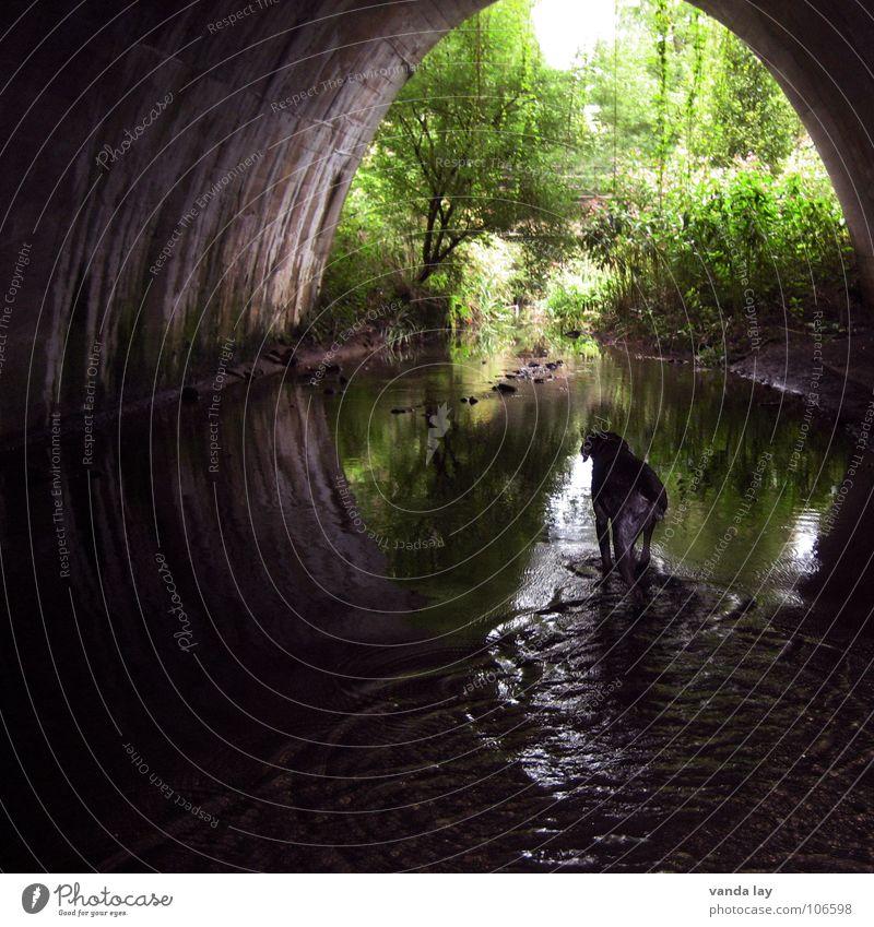 Under the bridge Tunnel Bach Hund Licht Halbkreis Jagdhund Gewässer Urwald dunkel Baum Wald Brücke Fluss Säugetier Wasser water dog deutsch kurzhaar Ende