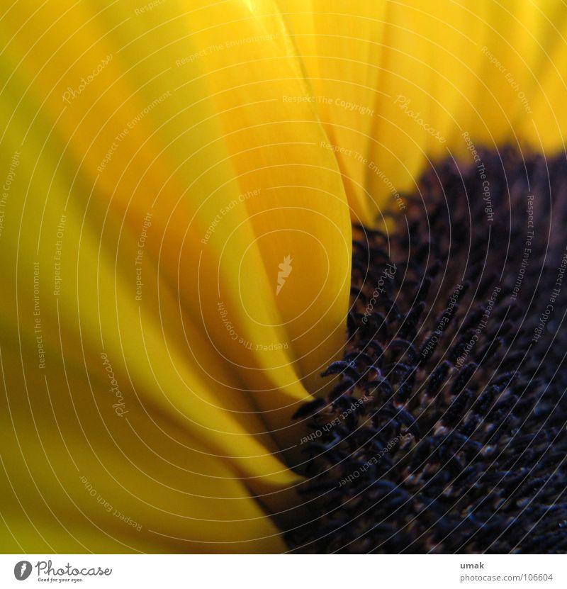 gelb Sonnenblume schwarz Blüte Herbst Makroaufnahme Indian Summer sonnenrose schwarzgelb Detailaufnahme frühherbst