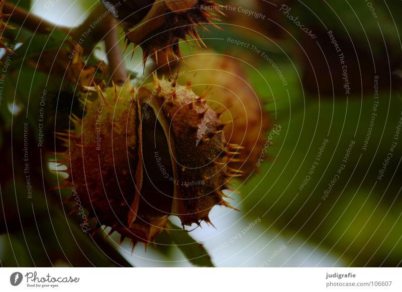Herbst Natur grün Baum Sommer Farbe Blatt Umwelt Spitze Ast Zweig Schalen & Schüsseln Stachel Kastanienbaum Laubbaum Igel