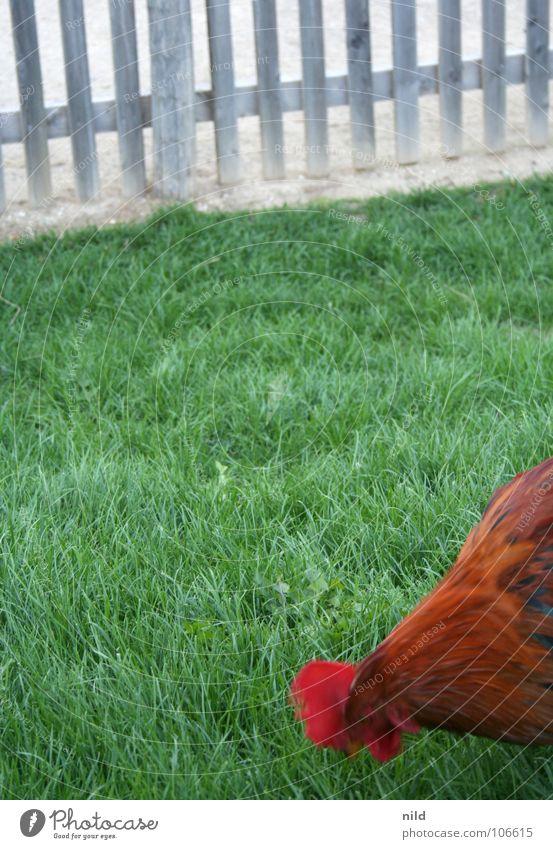 fast food im grünen Haushuhn Hahn Zaun Gras Bauernhof Vogel hühnchen chicken mc nuggets chickenburger mc Chicken Crispy chicken chicken wrap zum mitnehmen