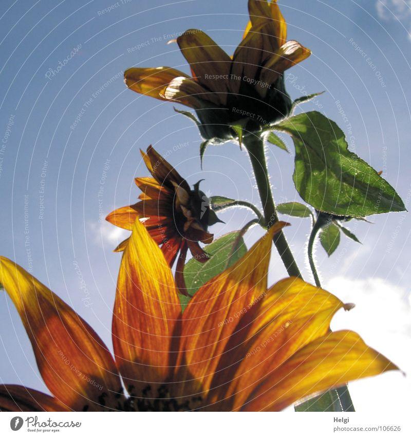 Nahaufnahme von Blütenblättern einer Sonnenblume, im Hintergrund Stängel mit zwei Blüten vor blauem Himmel Blume Blütenblatt Stengel Sommer Licht Gegenlicht