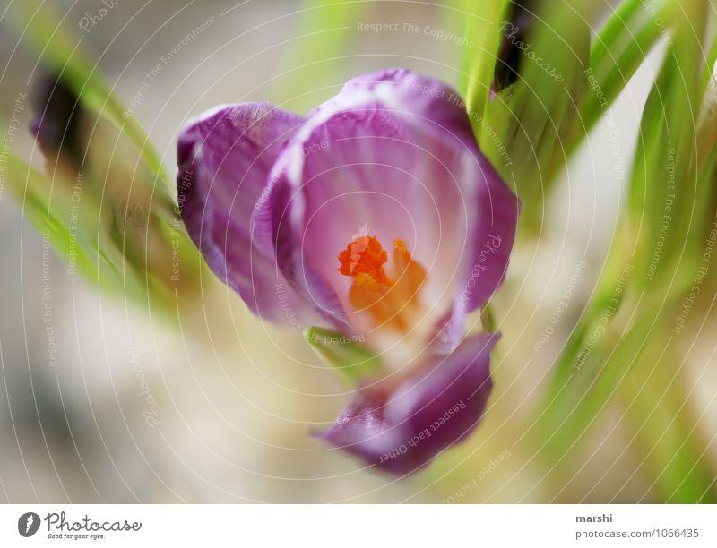 Krokus Natur Pflanze grün Blume Frühling violett Blütenblatt Frühlingsgefühle Blütenpflanze Krokusse
