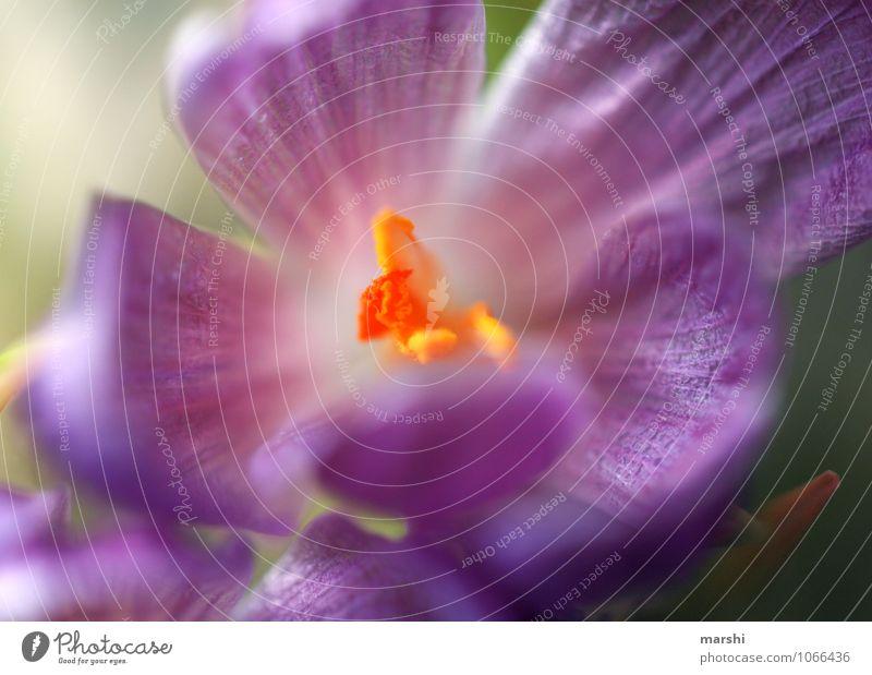 Frühlingserwachen Natur Pflanze Stimmung Krokusse Frühlingsgefühle Blühend violett Blütenknospen Blütenpflanze Blütenstempel Unschärfe Blume Garten Farbfoto