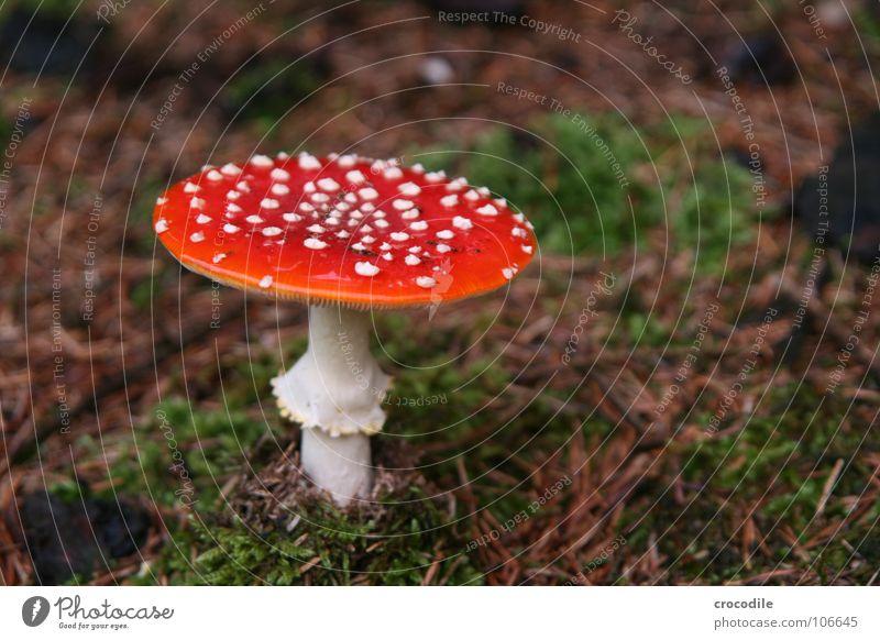 gift schwammerl weiß Pflanze Tod gefährlich Bodenbelag bedrohlich Regenschirm Hut Rauschmittel Pilz Märchen Gift vergiften Warnfarbe Fliegenpilz