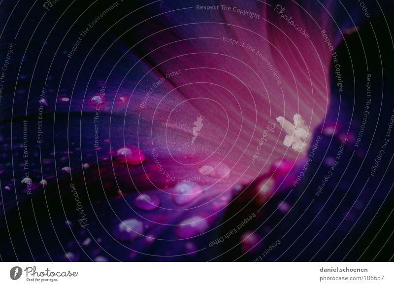 Prunkwinde Blume Blüte Pflanze Kletterpflanzen Trichter violett rosa dunkel Wassertropfen Regen Sommer Klarheit Hintergrundbild Makroaufnahme Nahaufnahme Wind