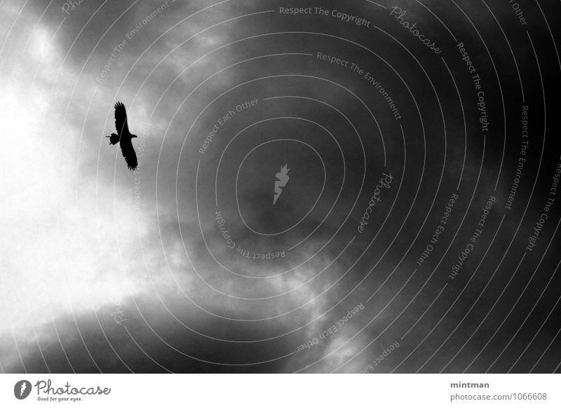Adler Wolken Vogel Flügel 1 Tier fliegen Freiheit Schwarzweißfoto Außenaufnahme Menschenleer Tag