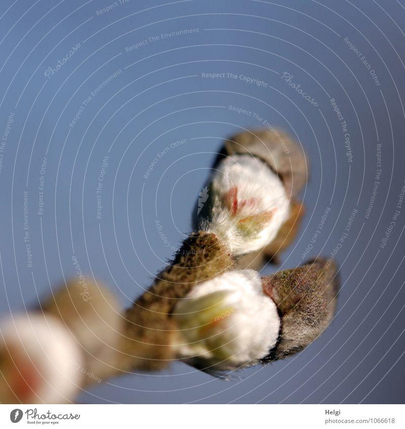 Aufbruch... Umwelt Natur Pflanze Wolkenloser Himmel Frühling Baum Wildpflanze Weide Weidenkätzchen Blütenknospen Zweig Park Wachstum ästhetisch frisch klein