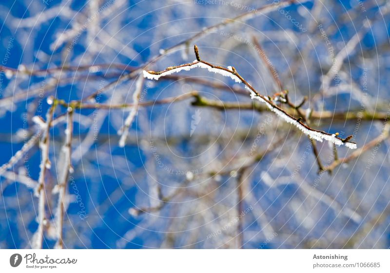 Zweige im Winter 2 Umwelt Natur Pflanze Himmel Wolkenloser Himmel Klima Wetter Eis Frost Schnee Baum frieren stehen kalt Spitze blau schwarz weiß fein dünn