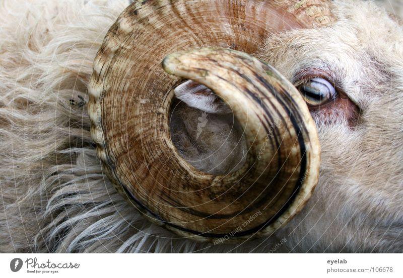Den Bock noch fetter... Tier Ziegen Schaf Fell Wolle weiß gefährlich tierisch Blick Waffe Angriff Defensive authentisch Säugetier widder Horn rundhorn nah