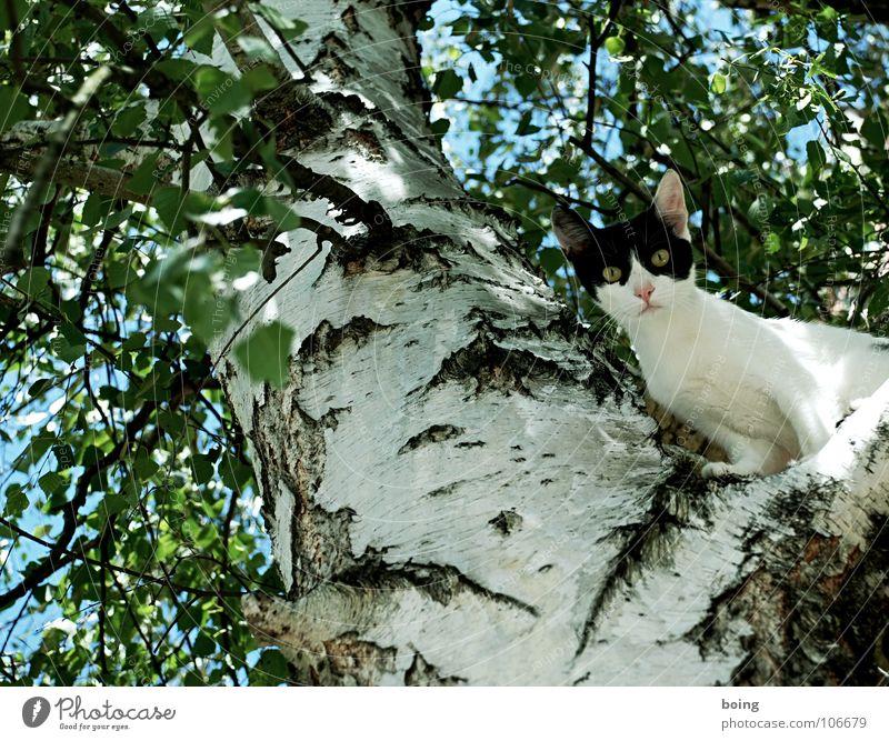Katze Baum springen Katze Angst laufen hoch Klettern Haustier Säugetier Flucht Panik Bergsteigen Feuerwehr Krallen Birke überblicken