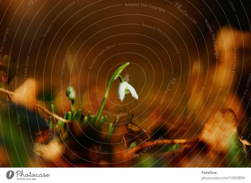 Frühlingsbote Umwelt Natur Pflanze Schönes Wetter Blume Blatt Blüte Garten Park hell nah natürlich braun grün weiß Frühlingsgefühle Frühlingsblume Frühblüher
