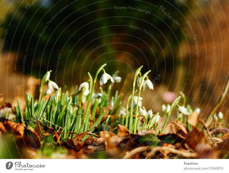 Hallo Frühling! Umwelt Natur Landschaft Pflanze Schönes Wetter Blume Blatt Blüte Garten Park frisch hell nah natürlich braun grün weiß Schneeglöckchen