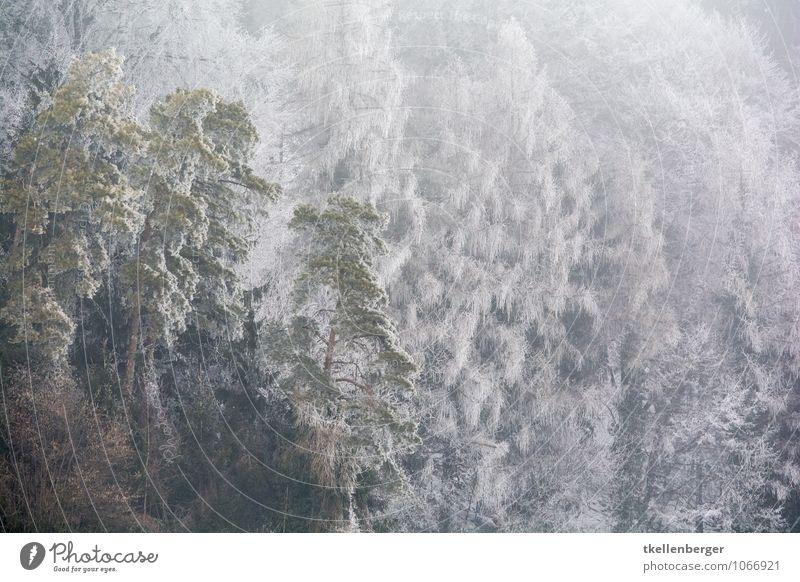 Frostige Angelegenheit Baum Einsamkeit Winter Wald kalt Schneefall Eis gefroren Tanne frieren Nadel Wohngemeinschaft Waldrand Winterwald Winterstimmung