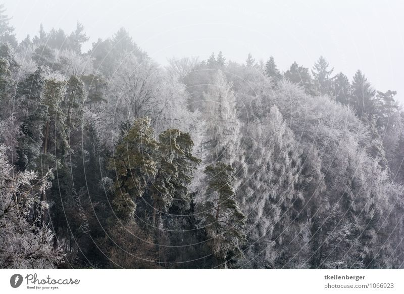 Frost so weiss wie der Sommer Natur Baum ruhig Wolken Winter Wald kalt Schnee Eis Schneefall Nebel Sträucher Tanne schlechtes Wetter Nadelbaum