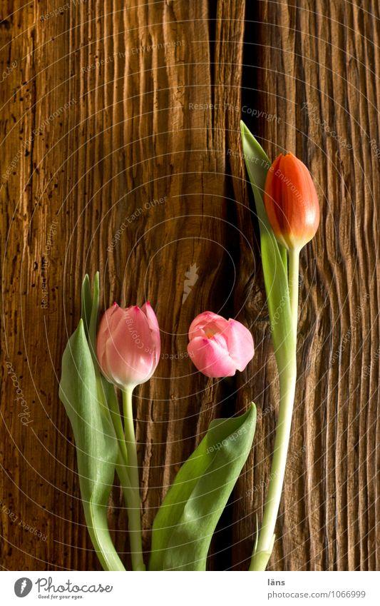 und wo wir uns selbst begegnen Pflanze grün Blume Frühling natürlich braun rosa Lifestyle Häusliches Leben Blühend Tulpe Frühlingsgefühle Balken Frühlingsblume