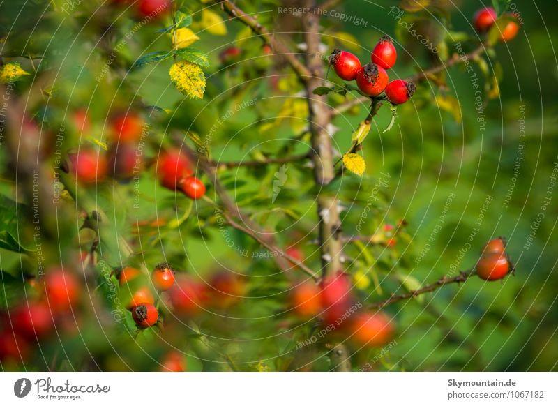 Hagebutten Natur Pflanze Sommer Herbst Schönes Wetter Sträucher Rose Blatt Nutzpflanze Wildpflanze Frucht Fruchstand entdecken Erholung Essen genießen