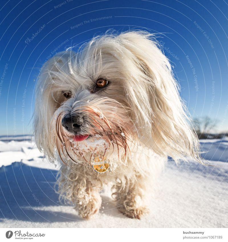 Neugierig Winter Landschaft Tier Himmel Wolkenloser Himmel Sonnenlicht Wetter Schönes Wetter Schnee langhaarig Haustier Hund 1 gehen kalt blau weiß Europa