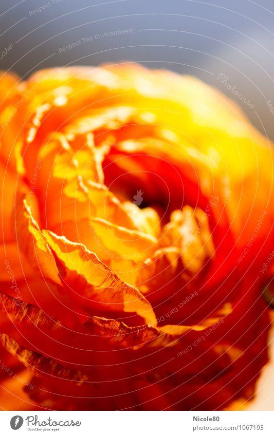 Ranunculus 2 Blume orange Ranunkel Hahnenfuß Blüte Nahaufnahme zart Frühling Frühblüher Farbfoto Innenaufnahme Makroaufnahme Menschenleer Textfreiraum oben
