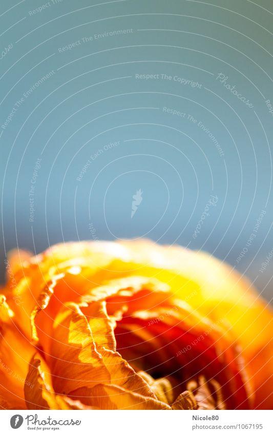 Ranunculus 1 Blüte Warmherzigkeit Ranunkel Hahnenfuß Pflanze Nahaufnahme Wärme orange Sonne Blume Farbfoto Innenaufnahme Makroaufnahme Menschenleer
