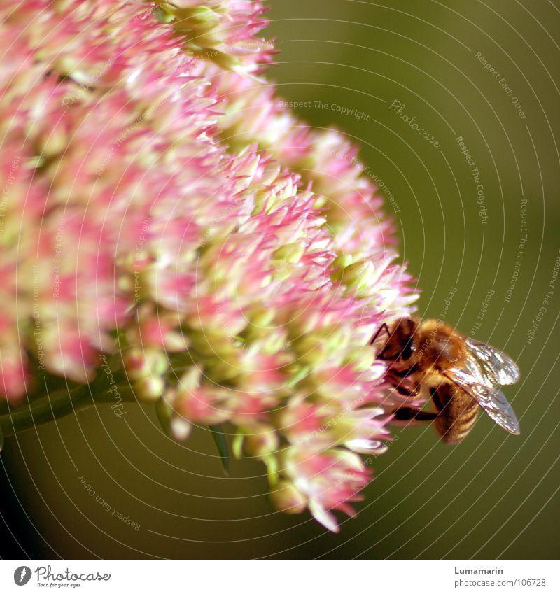 Sommersammlerin Blüte Insekt Biene krabbeln Sammlung fleißig emsig Pollen Staubfäden Honig süß glänzend Physik weich samtig Vorrat Wintervorrat überwintern grün