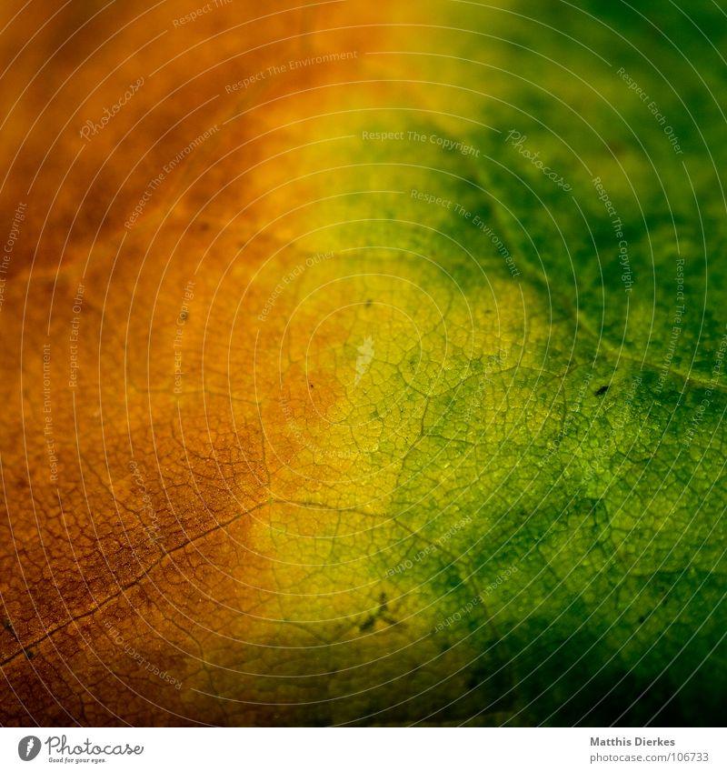 DER HERBST herbstlich Herbst Herbstlaub Herbstfärbung gelb grün grün-gelb Farbverlauf Makroaufnahme Bildausschnitt Blattadern Hintergrundbild braun Farbenspiel