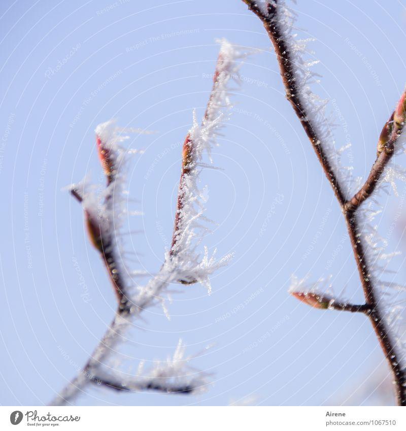 Rückfall Himmel Winter Schönes Wetter Eis Frost Pflanze Baum Sträucher Zweige u. Äste Blattknospe Blütenknospen Eiskristall Schneekristall Spitze Stachel