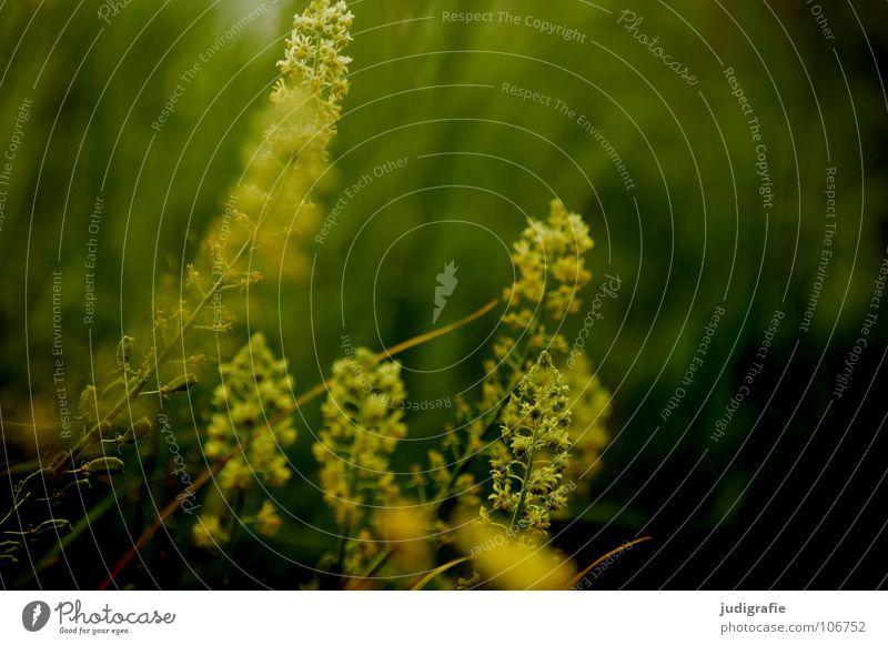 Wiese Blüte Blume Pflanze Stengel weiß grün schwarz Sommer Umwelt Wachstum gedeihen schön Farbe Wildtier Natur einfach Heilpflanzen Unkraut