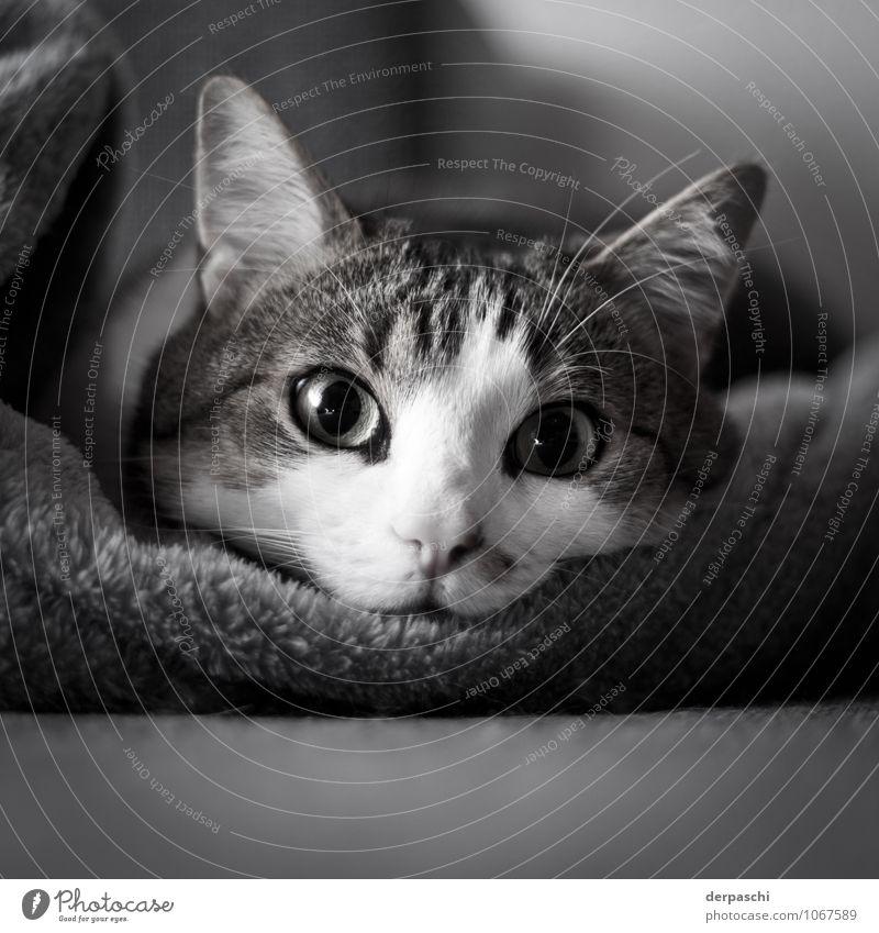 Der Rüdiger Wohnung Tier Haustier Katze Tiergesicht 1 liegen schwarz weiß ruhig Trägheit Erholung Auge Schwarzweißfoto Innenaufnahme Menschenleer