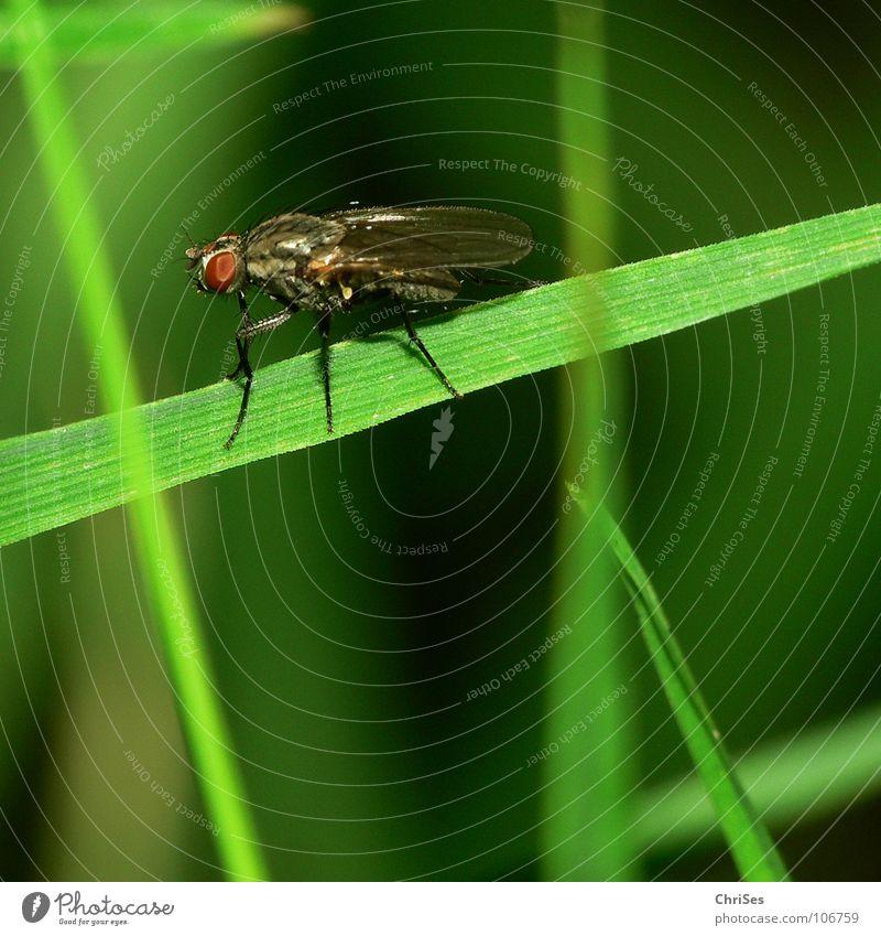 Startklar; die Gemeine Stubenfliege ( Musca domestica) Fliege Gras grün Insekt Unschärfe Sommer Zweiflügler Ekel Tier Pflanze Nordwalde Angst Panik