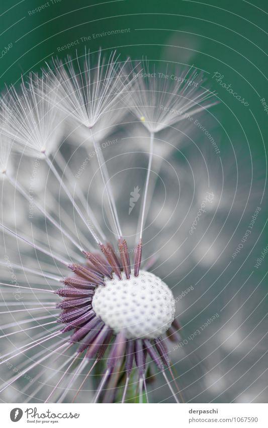 Pusteblume Natur Pflanze grün weiß fein dünn Blume Makroaufnahme Farbfoto Außenaufnahme Menschenleer Tag Unschärfe Schwache Tiefenschärfe
