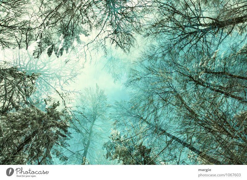 Baumkronen Himmel Natur grün Baum Erholung ruhig Winter Wald Schnee Gesundheit Eis Luft Wachstum Klima Schönes Wetter Schutz