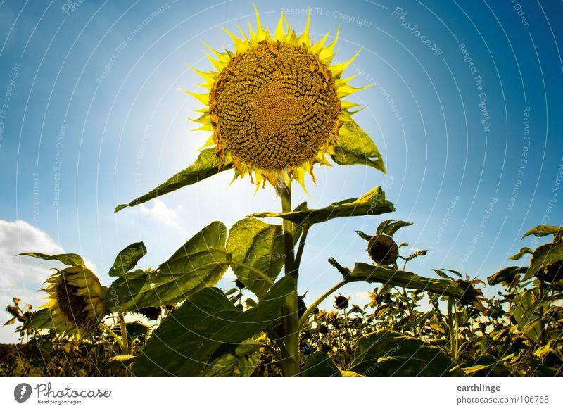 Doppelsonne Sonne Blume grün blau Pflanze Sommer Wolken gelb Farbe Glück Wärme Graffiti Feld mehrere Vergänglichkeit Blühend
