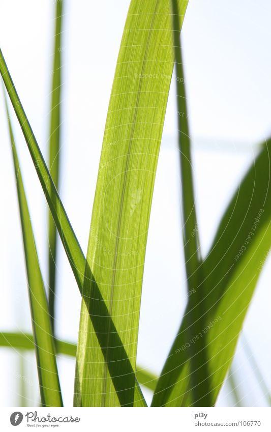 Leuchtgrass grün Sommer Lampe Garten Park hell Halm durchsichtig Dia Glasnost