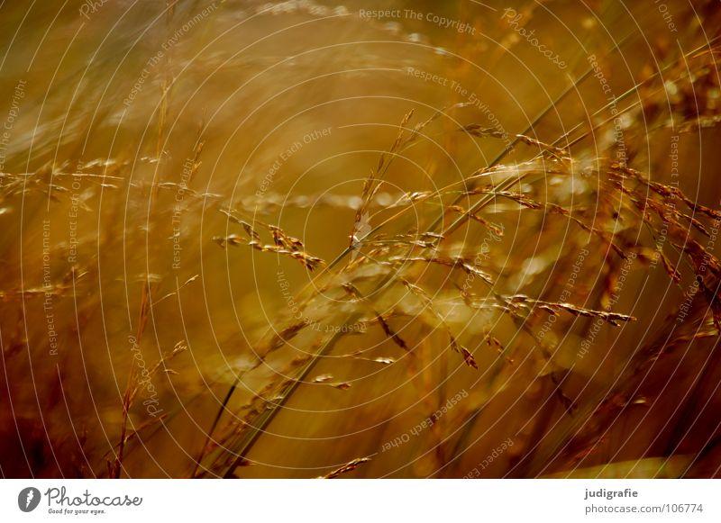 Gras schön Farbe Erholung gelb Wiese Stimmung orange Wind gold glänzend weich zart Weide Stengel Halm