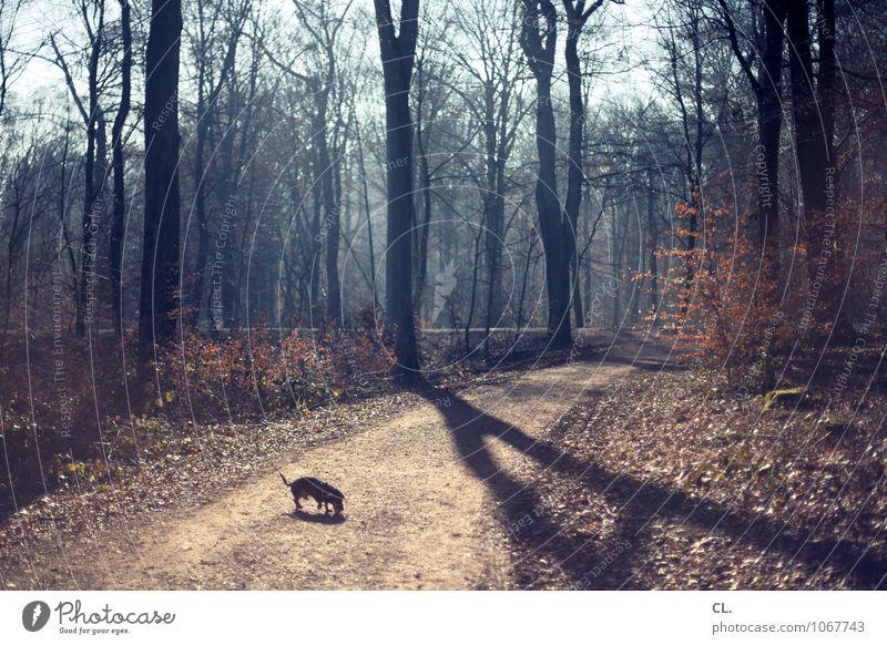 kleiner hund, großer wald Umwelt Natur Landschaft Urelemente Sonnenlicht Herbst Winter Klima Klimawandel Wetter Schönes Wetter Baum Sträucher Wald Tier Haustier