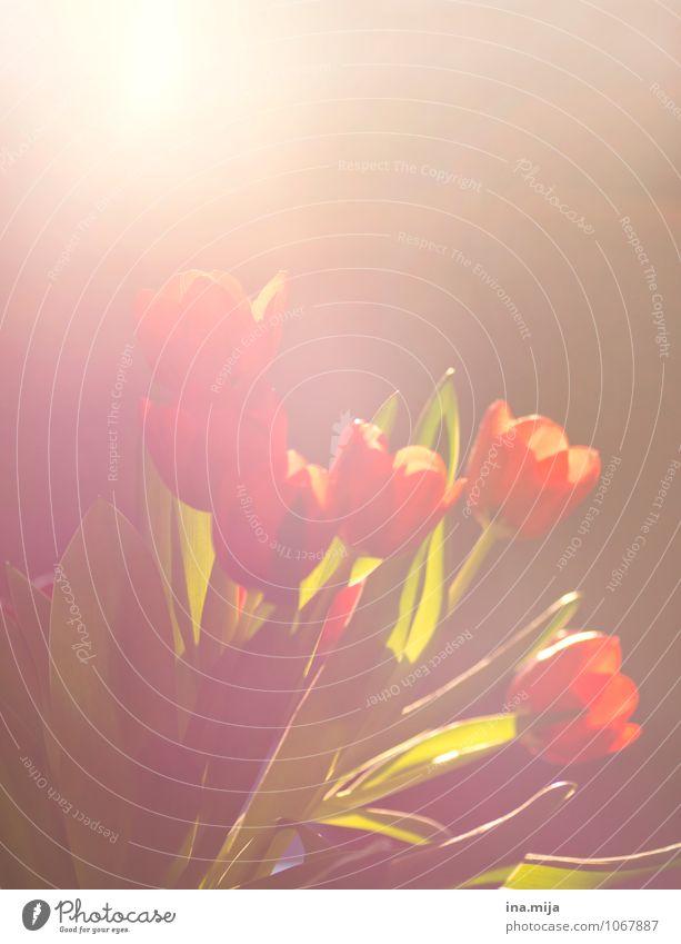 Tulpen Natur Pflanze Blume rot Liebe Frühling Feste & Feiern Zusammensein Freundschaft Zufriedenheit Warmherzigkeit Zeichen Frieden Blumenstrauß Verliebtheit
