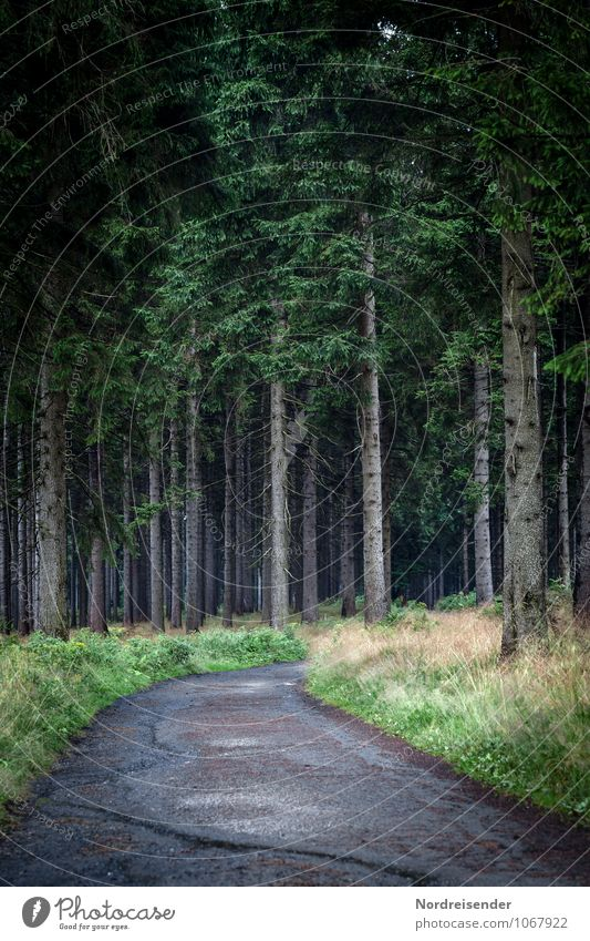 Düsterwald Sinnesorgane wandern Landwirtschaft Forstwirtschaft Natur Landschaft Pflanze Baum Gras Wildpflanze Wald Wege & Pfade bedrohlich dunkel Wachsamkeit