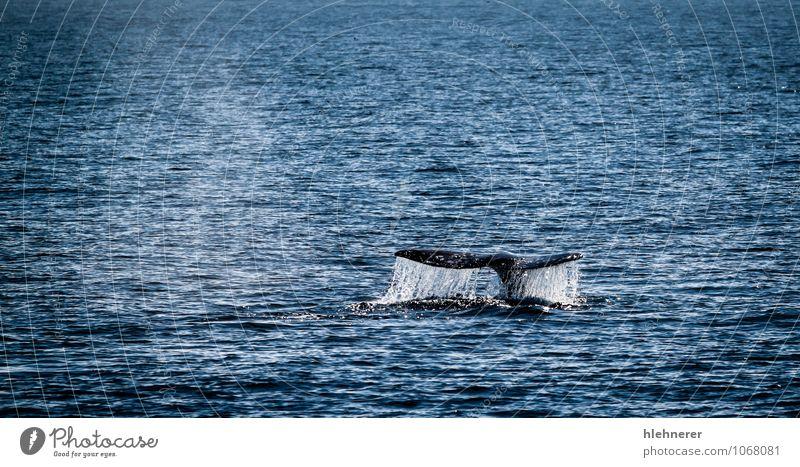 Natur schön Meer Tier grau wild Körper offen groß beobachten Lebewesen tief tauchen Säugetier Oberfläche Mexiko
