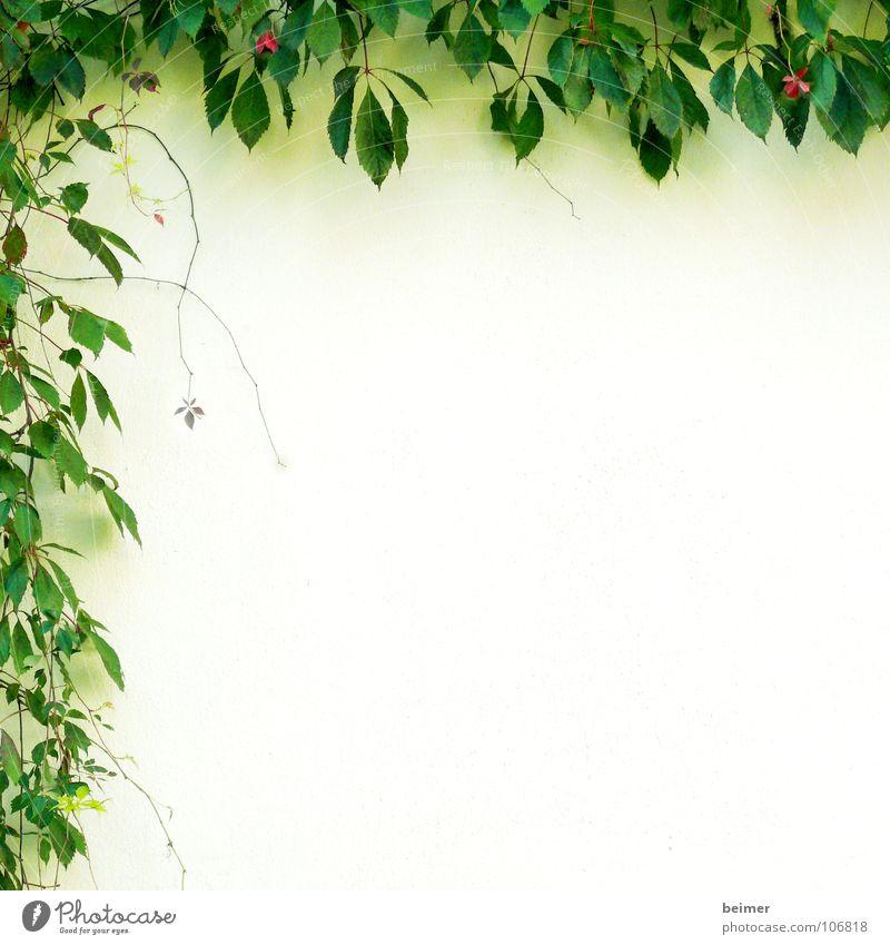 Kletterpflanze Pflanze grün Ranke Wand Blüte zart umrandet Hintergrundbild Wachstum Blatt Kletterpflanzen Sommer Rahmen Natur