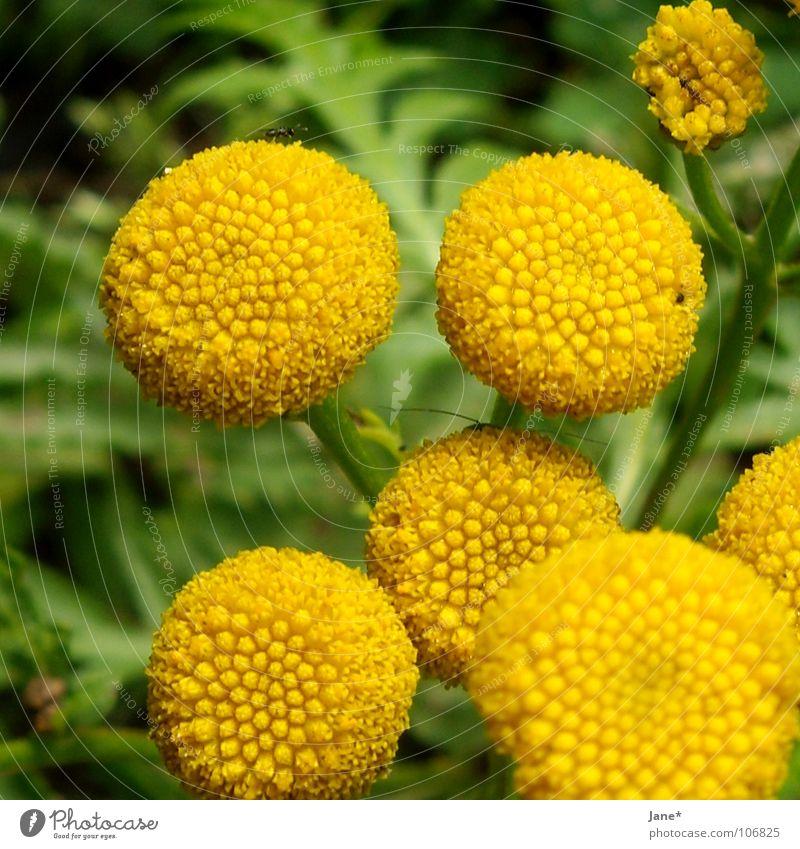 blütenlos Natur Blume grün Pflanze Sommer gelb rund Stempel
