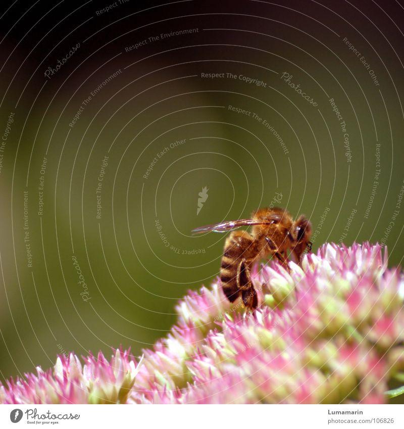Klettermaja Sommer Blüte Insekt Biene krabbeln Sammlung Arbeit & Erwerbstätigkeit fleißig emsig Pollen Staubfäden Honig süß glänzend Physik weich samtig Vorrat