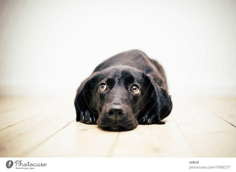 Amy Pt.2 Haustier Hund Tiergesicht Fell Pfote 1 beobachten liegen niedlich schwarz geduldig Parkett Treue Hundeblick Labrador Farbfoto Innenaufnahme