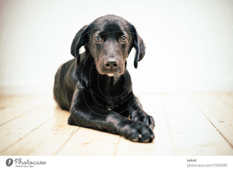 Amy Pt.4 Haustier Hund Tiergesicht Fell 1 beobachten liegen weich schwarz Labrador Holzfußboden Dielenboden hell Farbfoto Innenaufnahme Menschenleer Licht