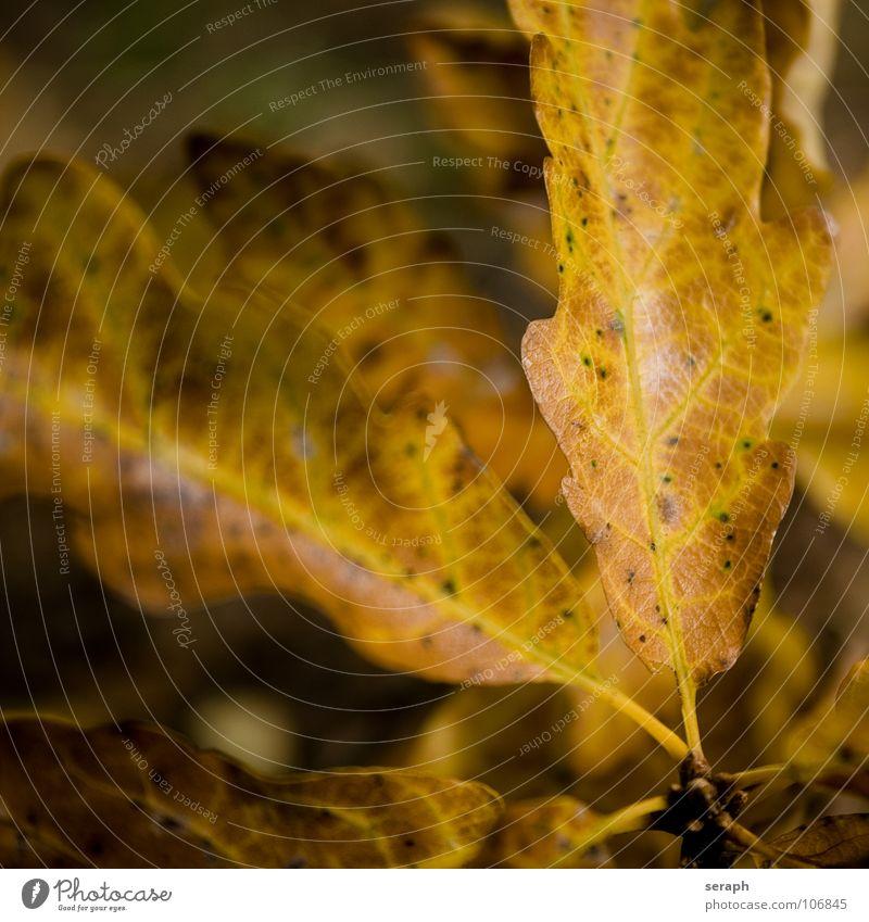 Herbstlaub Baum Eiche Eichenblatt Blatt Baumkrone acer Blätterdach Natur herbstlich Jahreszeiten Blattfaser Blattadern Blattgrün Farbe Färbung Pflanze Laubbaum